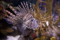 Lionfish, pterois volitans, Royalty Free Stock Photo