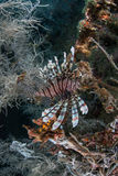 Lionfish 5 Stock Images