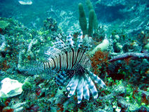 Lionfish (Pterois volitans) Royalty Free Stock Photography