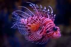 Lionfish (Pteroismeilen) stockfoto