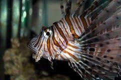 Lionfish (pteroismijlen) stock afbeeldingen