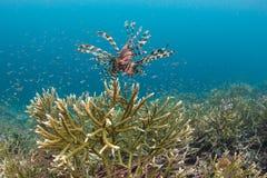 Lionfish que caça sobre Coral Reef frágil Imagens de Stock Royalty Free