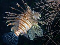 lionfish röda maldives royaltyfria bilder