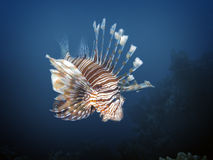 Lionfish. Red lionfish (Pterois volitans), Soma Bay, Egypt Royalty Free Stock Image
