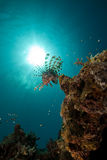 Lionfish in the Red Sea. Stock Photo