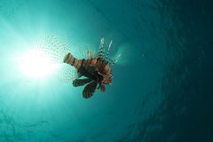 LIonfish in the Red Sea. Royalty Free Stock Image