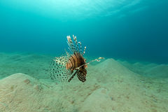 Lionfish in the Red Sea. Stock Photos