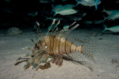 Lionfish in the red sea Royalty Free Stock Photos