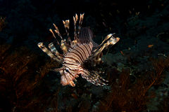 Lionfish in the red sea Royalty Free Stock Images