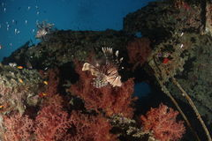 A lionfish in the Red Sea, Egypt. A lionfish showing his spines in the Red Sea, Egypt royalty free stock images