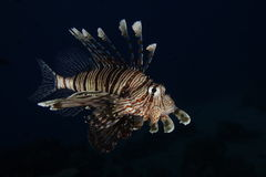 A lionfish in the Red Sea, Egypt Royalty Free Stock Image