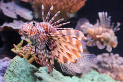Lionfish in the Red Sea Stock Images