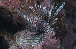 Lionfish on a reef Royalty Free Stock Image
