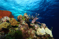Lionfish on reef. A lionfish hovers on top of a coral reef, backed by rippling blue water Royalty Free Stock Image