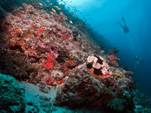 Lionfish and reef view Stock Image
