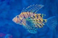 Lionfish rojo Fotos de archivo libres de regalías