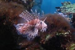 Lionfish rojo Imagenes de archivo