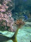 Lionfish rojo uno de los pescados peligrosos del arrecife de coral Animales hermosos y peligrosos en acuario fotografía de archivo