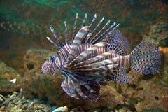Lionfish rosso Immagine Stock Libera da Diritti
