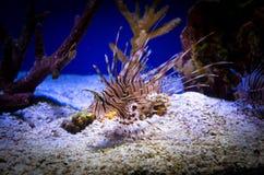 Lionfish rosso Immagini Stock