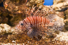 Lionfish rosso del pesce tropicale - pterois volitans Immagini Stock Libere da Diritti