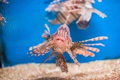 Lionfish rosso di nuoto Miglia del Pterois pesce pericoloso, straordinario, tossico dell'oceano Priorità bassa per una scheda del immagini stock libere da diritti