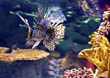 Lionfish rosso - specie P volitans Fotografia Stock