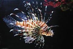 Lionfish rosso (volitans del Pterois) Fotografie Stock Libere da Diritti