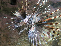 Lionfish rouge Photos libres de droits