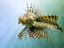 Lionfish rouge Photographie stock