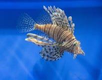 Lionfish rouge avec les rayures blanches Photographie stock libre de droits