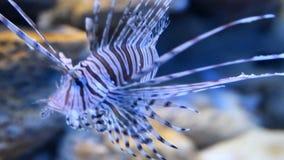Lionfish rouge dans l'aquarium clips vidéos