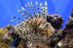 Lionfish rouge dans l'aquarium Photographie stock libre de droits