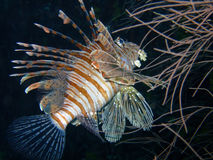 Lionfish rouge, Maldives Images libres de droits