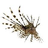 Lionfish rouge - volitans de Pterois Images stock