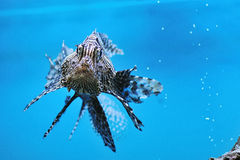 Lionfish rouge (volitans de Pterois) Photographie stock