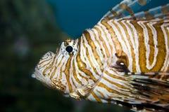 Lionfish's face Stock Photos