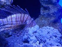 Lionfish in saltwater aquarium. Fauna and nature, marine life, acuatic animal royalty free stock photos