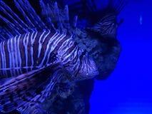 Lionfish in saltwater aquarium. Fauna and nature, marine life, acuatic animal royalty free stock images
