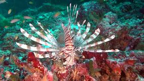 Lionfish scorpion fish on clean clear seabed underwater ocean in Maldives. Amazing beautiful marine life world of sea creatures. Inhabitants in search of food stock video