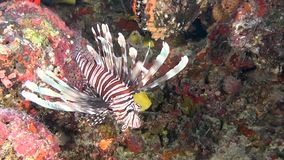 Lionfish scorpion fish on clean clear seabed underwater ocean in Maldives. Amazing beautiful marine life world of sea creatures. Inhabitants in search of food stock footage
