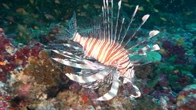Lionfish scorpion fish on clean clear seabed underwater ocean in Maldives. stock footage
