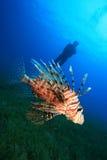 Lionfish and Scuba Diver Stock Image