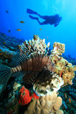Lionfish and Scuba Diver Stock Images