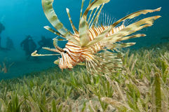 Lionfish with scuba divers Royalty Free Stock Photo