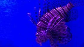 Lionfish stock video
