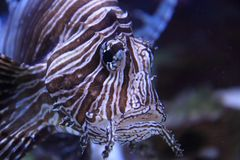 lionfish in the sea water Royalty Free Stock Photos