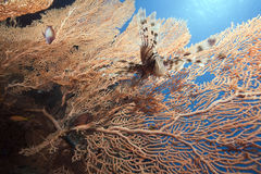 Lionfish and seafan. Taken in the red sea Stock Image