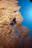 Lionfish and seafan. Taken in the red sea Stock Photos