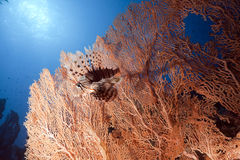 Lionfish and seafan. Taken in the red sea Stock Photography